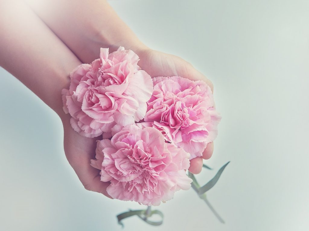 cloves_flowers_pink_carnation_pink_three_schnittblume_hands_keep-629561.jpg!d