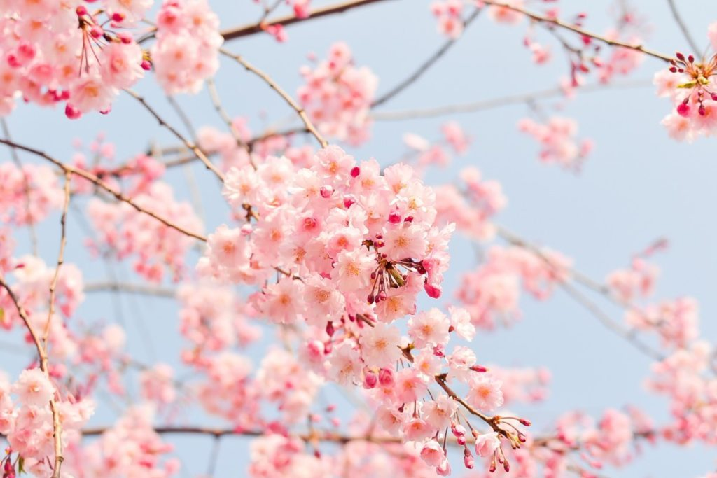 natural_plant_flowers_cherry_japan_spring_pink_spring_flowers-648247.jpg!d