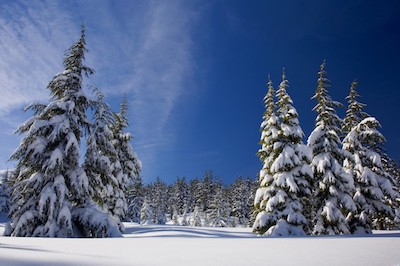 snow_forest_winter_nature_trees_pine_cold_white
