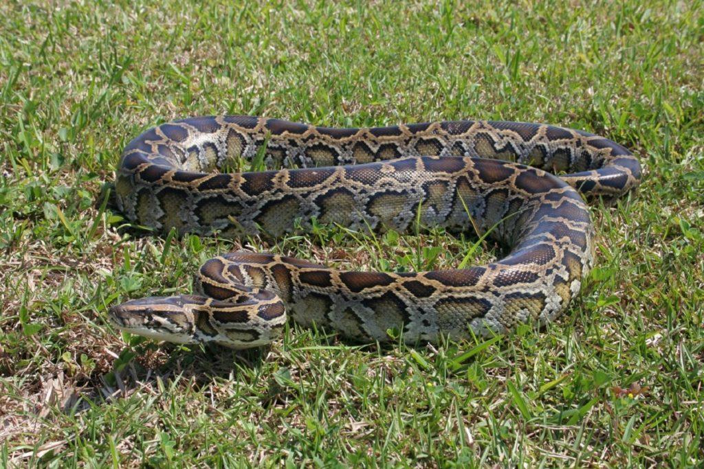 python_snake_grass_wildlife